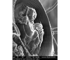 Broken Joint of Large Beetle