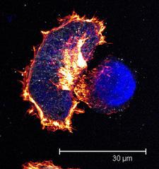 Murine B16 Cells