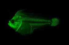 Ghost fish