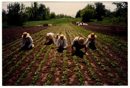 Weeding and Thinning Spinach
