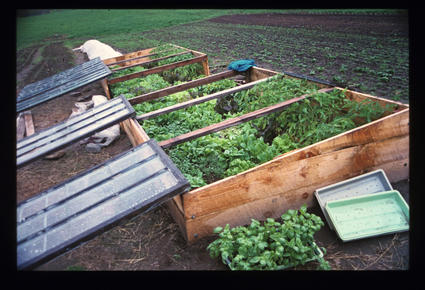 Cold Frames with Greens