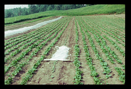 Winter Squash Interplanted with Spinach