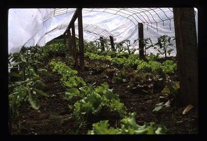 Lettuce and Tomatoes Interplanted and Under Row Cover
