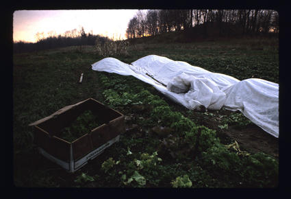 Fall Lettuce Under Row Cover