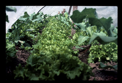 Cauliflower, Broccoli and Lettuce in a 5-Row Tunnel