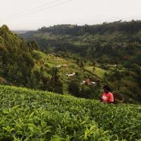 Tea Cultivation in Nyeri Spring 2016